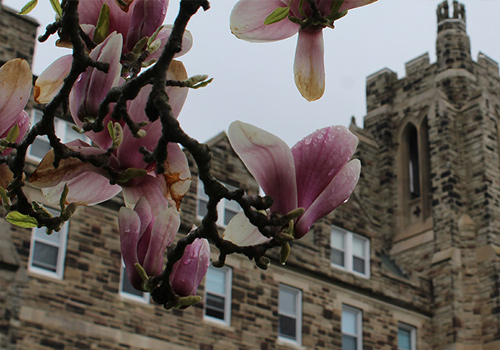 Magnolia tree in front of Ursuline Hall